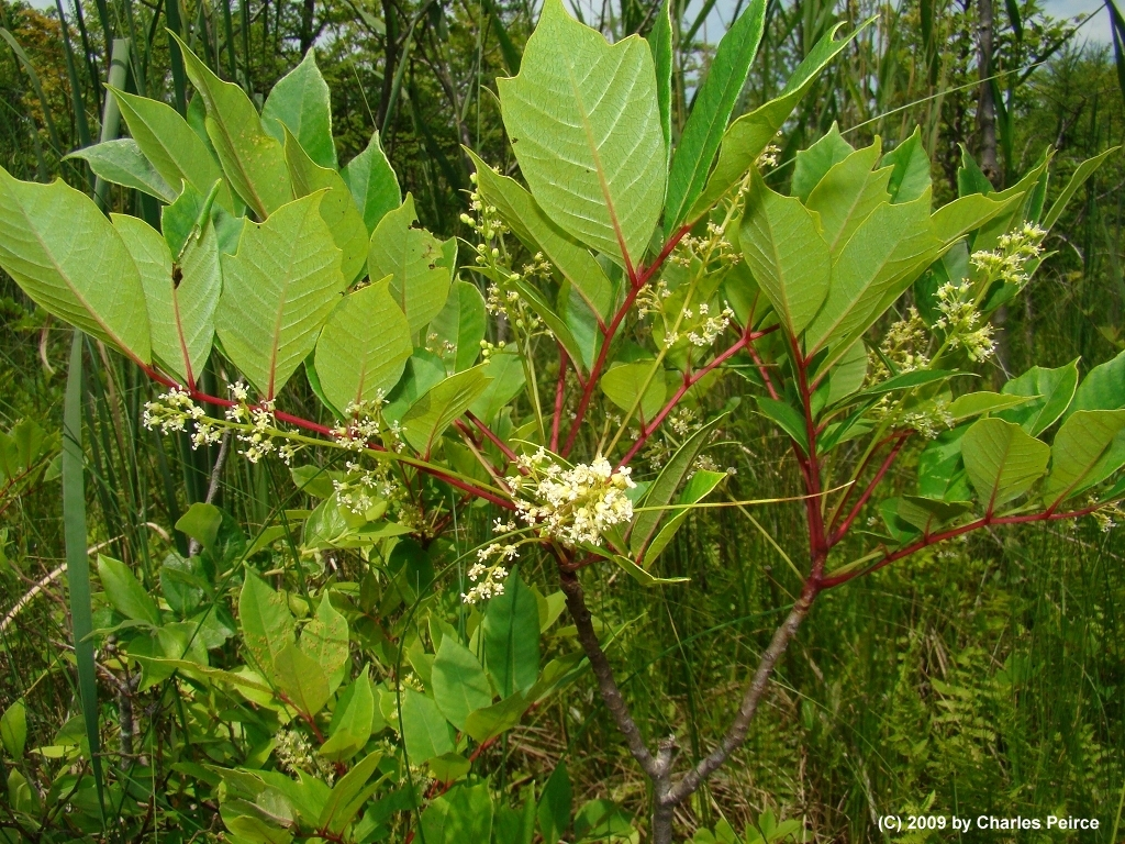 Poison Ivy, Oak, or Sumac-Topic Overview - WebMD