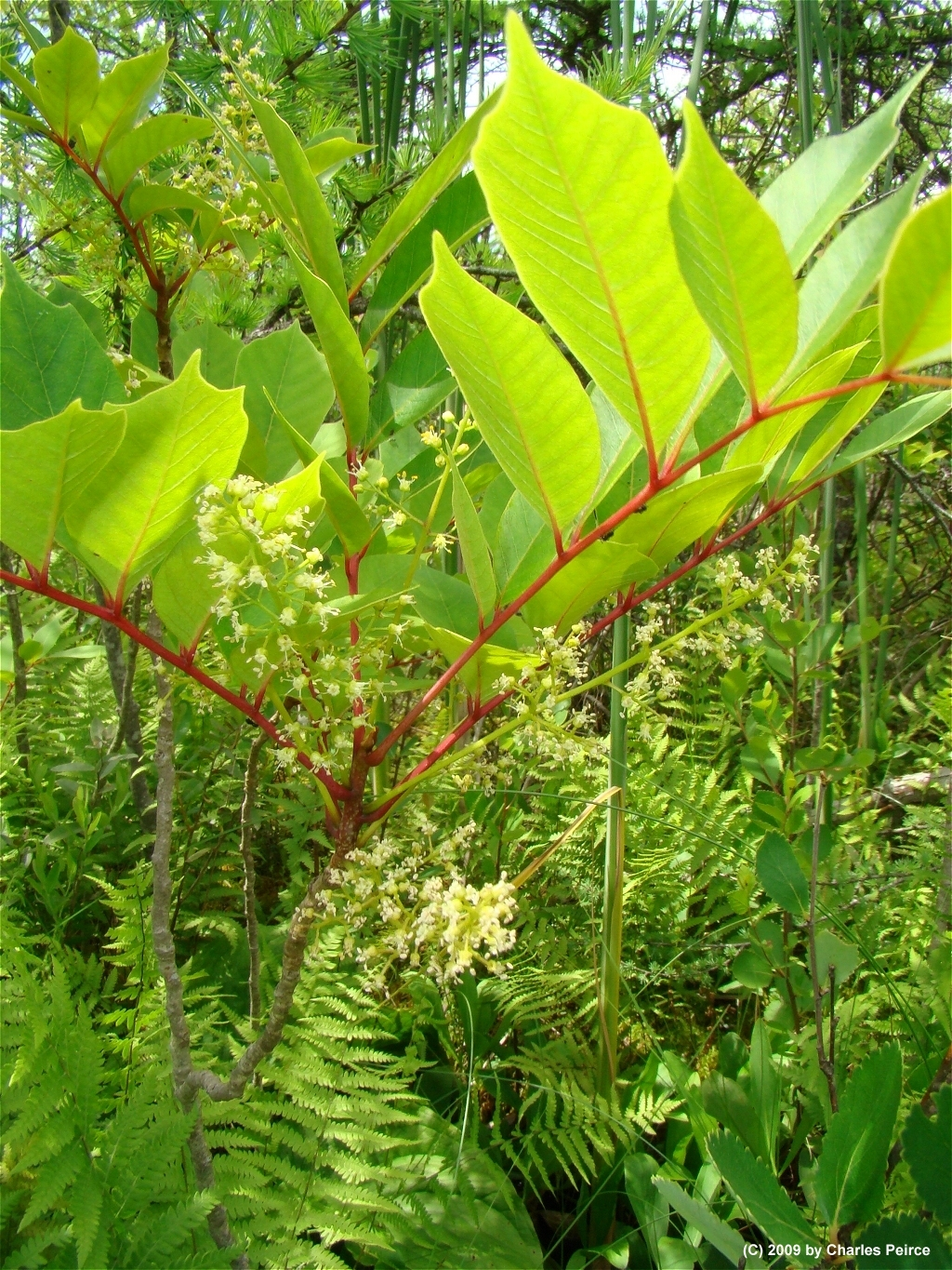 3 Easy Ways to Identify Poison Sumac (with Pictures)