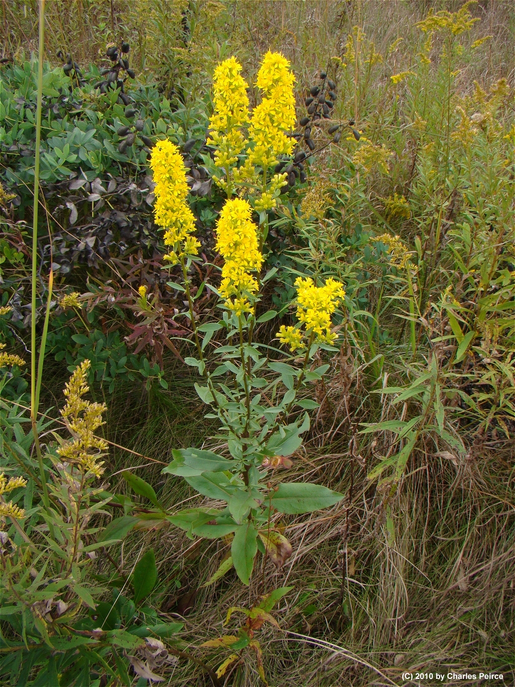 Solidago speciosa Showy Goldenrod from Sharp Seed